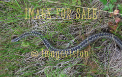 for sale venomous snake in grass