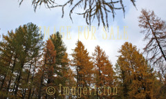 for sale larch forest in autumn colours