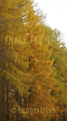 for sale soft larch branches