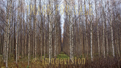 for sale long alley in birch forest
