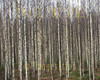 for sale black and white birch forest