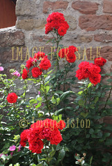 for sale red roses by the castle wall