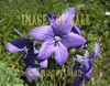 for sale beautiful blue campanula flowers