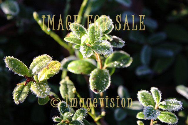 for sale frosty lingonberry leaves