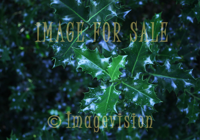 for sale wild mistletoe with raindrops