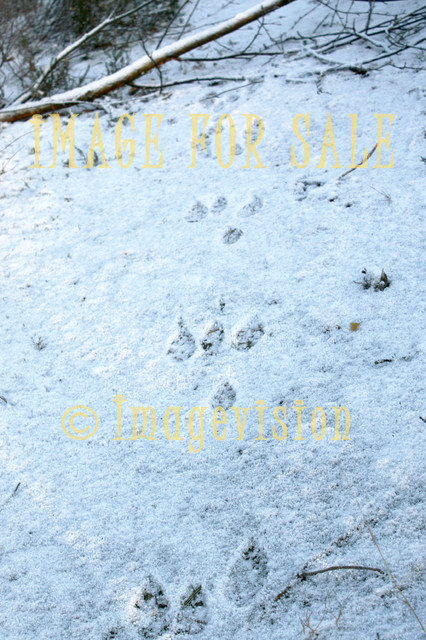for sale brown hare tracks on snow