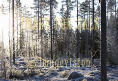 for sale winter frost and pine trees