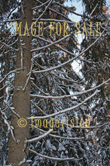 for sale spruce branches with snow
