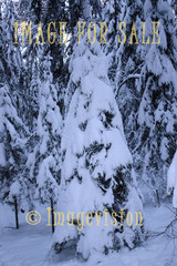 for sale trees wearing their snow dress