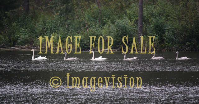 for sale swan family swimming