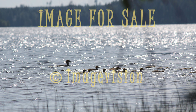 for sale flock of water birds in sunshine