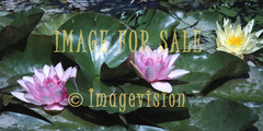 for sale water lilies red and yellow