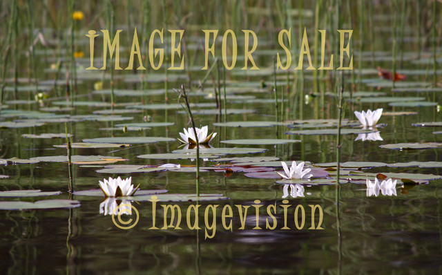 for sale water lilies white