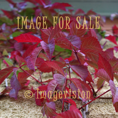 for sale autumn colours in climbing bine