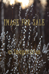for sale willow with white cotton balls
