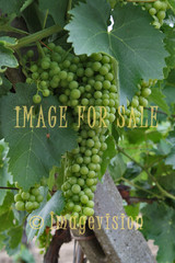 for sale wine grapes in italy