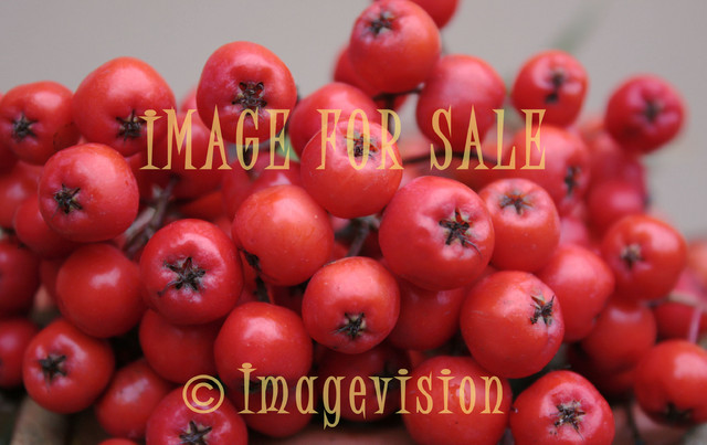 for sale rowanberries