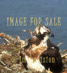 for sale osprey fish hawk on nest
