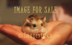 for sale cute hamster on hand