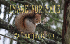 for sale squirrel looking at you