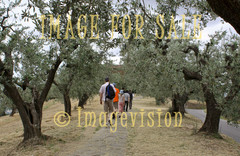 for sale olive tree path in vinci