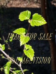 for sale small leaves of birch