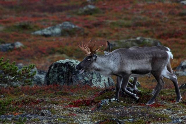 Reindeer Ivalo Lapland
