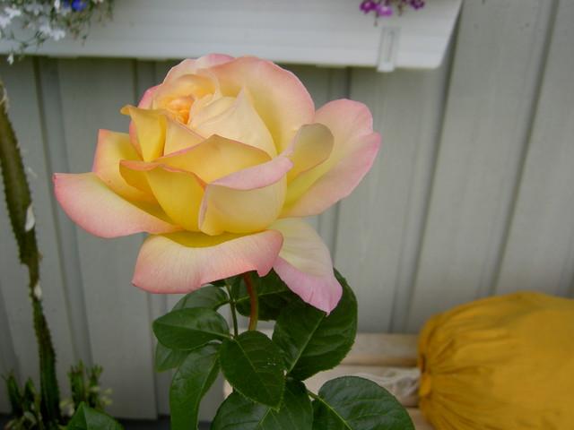 Peace-ruusu