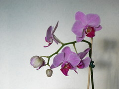 Orkidea 2008