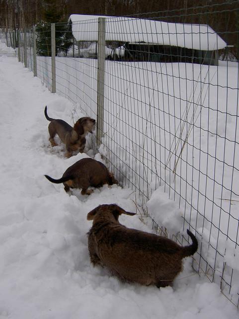 Miro, Pyry ja Nora myyrähommissa 13.3.2009
