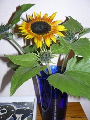 Auringonkukka kesältä 2011