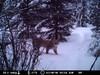 Lynx riistakamerassa 14.3.2010