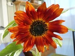 kukka-aurinko_2.9