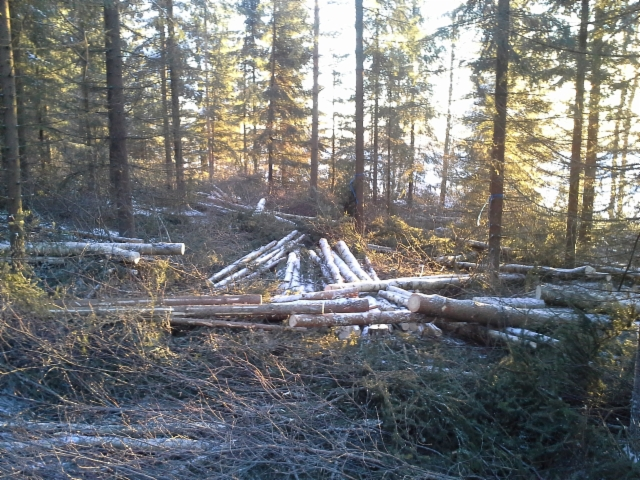 Tuulensuoja metsän harvennushakkuu