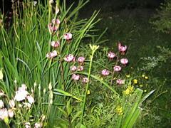 varjolilja