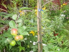 omenapuu Pirja