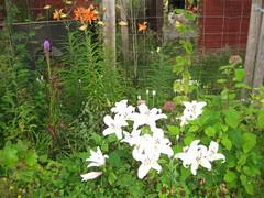 """valkoinen lilja """"reinesse"""""""