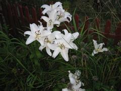 valkoinen lilja