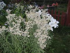 helminukkajäkkärä ja liljat