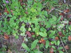 malvan ym. lehtiruusukkeita pihan perillä kasvamassa