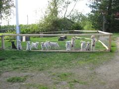 koiranpentuja naapurissa, montako