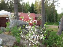 kirsikkapuu ensikukassaan
