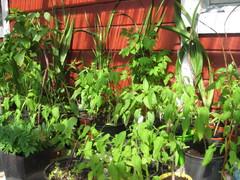 Tomaatteja ym pihamökin kuistilla toukokuussa