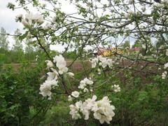 Omenapuut kukkivat toukokuussa.