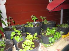 Tomaatteja, lamopinaattia ja silopersiljaa ruukuissa