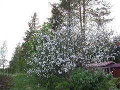 Vanha omenapuu loistossaan