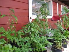 6.7._2014_tomaatteja ja basilikoita