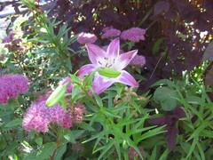 Liljat ja maksaruoho