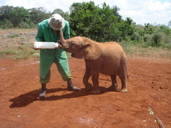 Pikku orpo norsu vauva