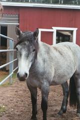 Karkki Connemaran poni (Coneridge Caramel 15.5.2002)